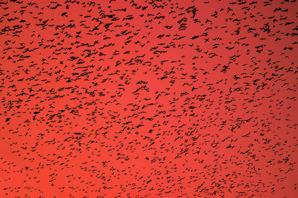 Cloud Formation Mixed Media - Flock Of Birds Swarming On Orange Sky. by Yaroslav Veretin
