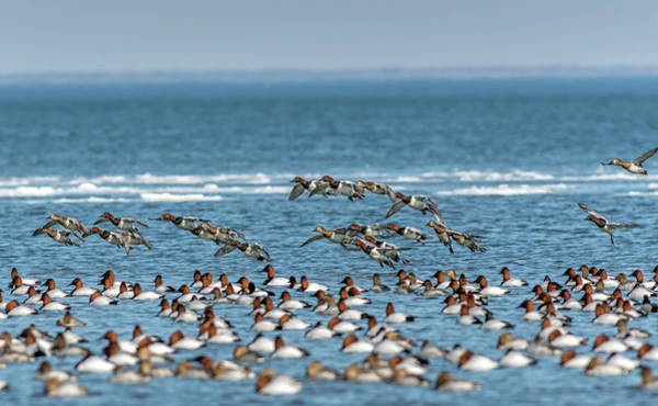 Photograph - Flock Of Canvasback Ducks On The Chesapeake Bay In Maryland by Patrick Wolf