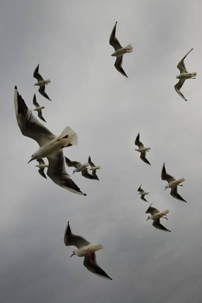 Chroicocephalus Ridibundus Photograph - Flock Of Common Black Headed Gulls In Winter Plumage Flying Over by Reimar Gaertner