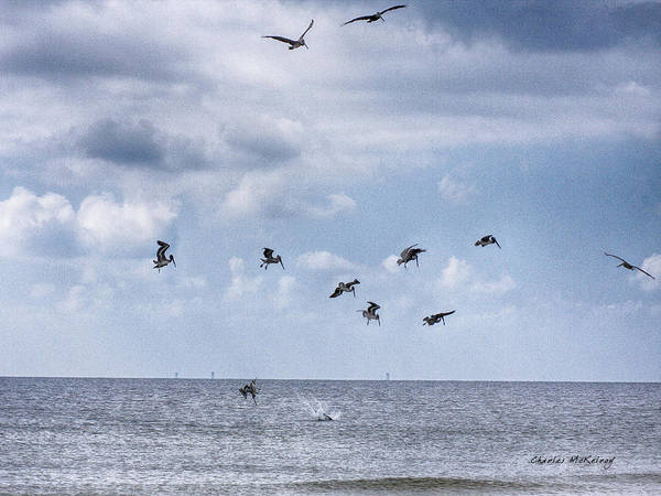 Photograph - Flock Of Feeding Pelicans by Charles McKelroy