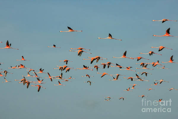 Phoenicopterus Roseus Wall Art - Photograph - Flock Of Flamingoes by Patricia Hofmeester