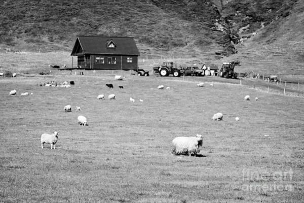 Smallholding Photograph - flock of icelandic sheep on small farm rural southern Iceland by Joe Fox