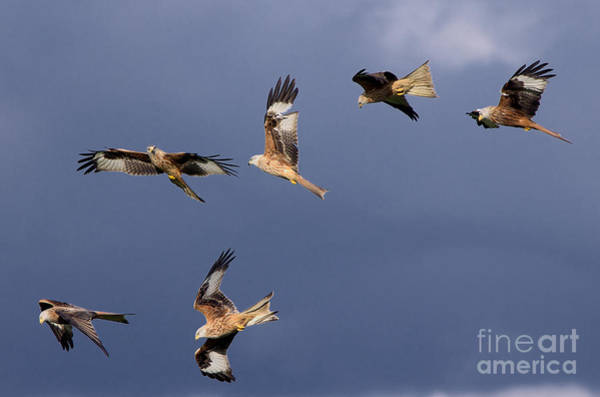 Photograph - Flock Of Red Kites by Martyn Arnold