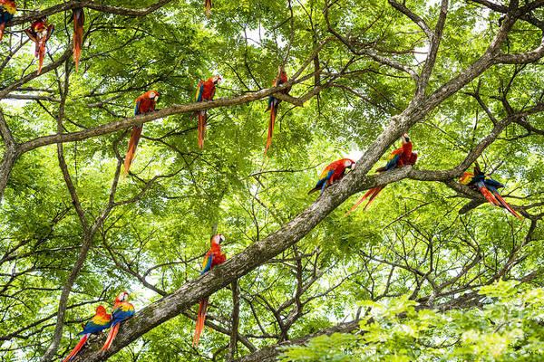 Wall Art - Photograph - Flock Of Scarlet Macaws by Oscar Gutierrez