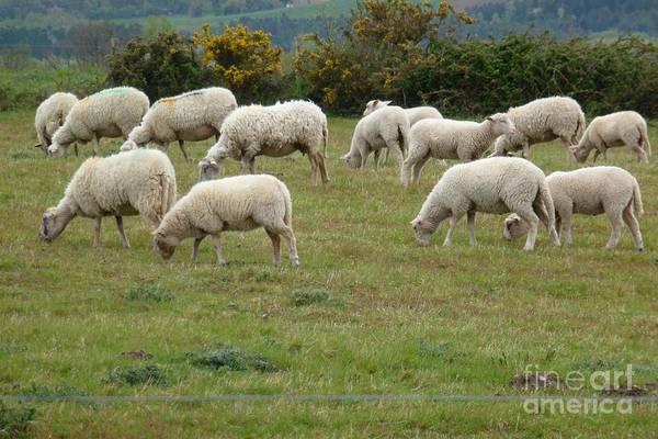 Photograph - Flock Of Sheeps by Jean Bernard Roussilhe