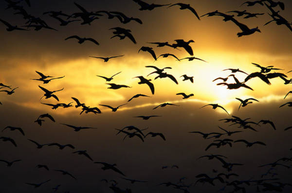 Wall Art - Photograph - Flock Of Silhouetted Snow Geese by Panoramic Images