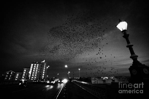 Wall Art - Photograph - Flock Of Starlings Flying In Murmuration Over Lamp On Albert Bridge Belfast Northern Ireland Uk by Joe Fox