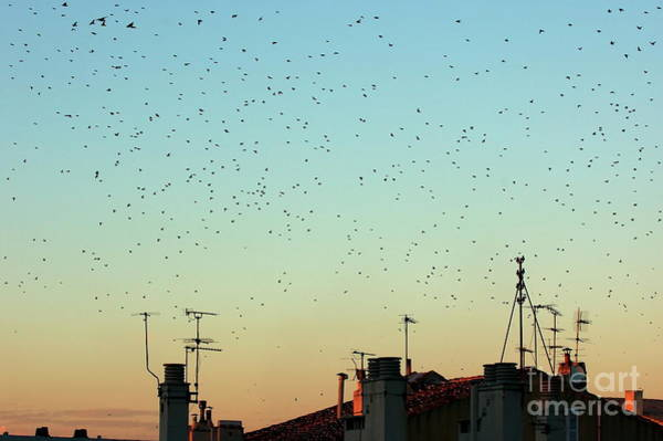 Wall Art - Photograph - Flock Of Swallows Flying Over Rooftops At Sunset During Fall by Sami Sarkis