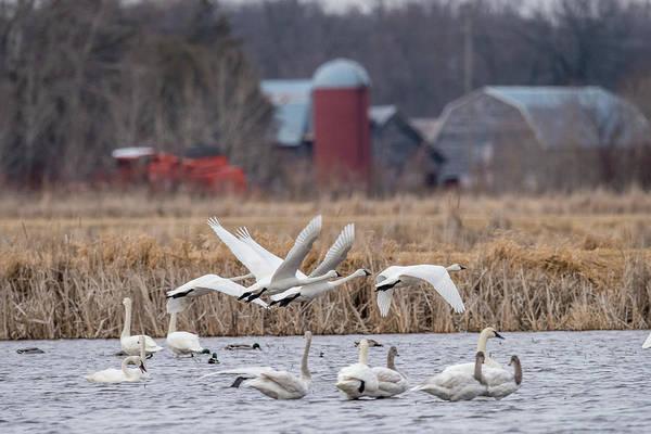Wall Art - Photograph - Flock Of Swans by Paul Freidlund