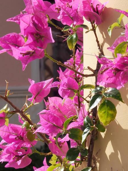 Photograph - Floral Climb-bougainvillea by Karen Zuk Rosenblatt