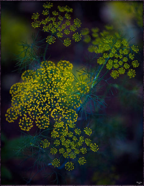 Photograph - Floral Fireworks by Chris Lord