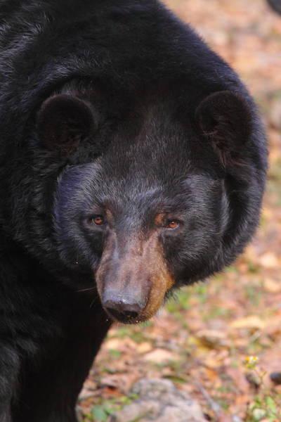Wall Art - Photograph - Florida Black Bear by Bruce J Robinson