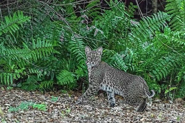 Photograph - Florida Bobcat by Kay Brewer
