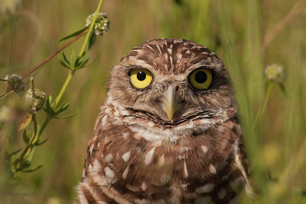 Photograph - Florida Burrowing Owl by Paul Rebmann