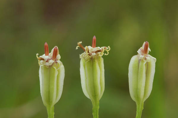 Photograph - Florida Cacalia Trio by Paul Rebmann