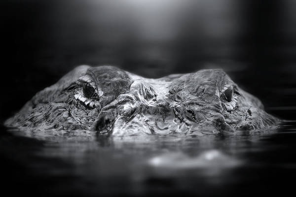 Gator Photograph - Florida Gator by Mark Andrew Thomas