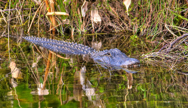 Wall Art - Photograph - Florida Gator by William Wetmore