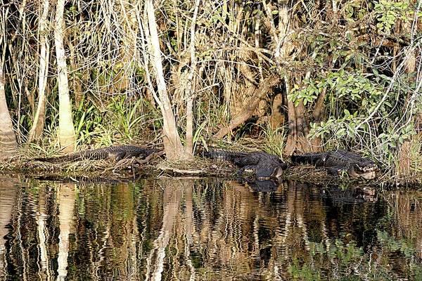 Photograph - Florida Gators - Everglades Swamp by Jerry Battle