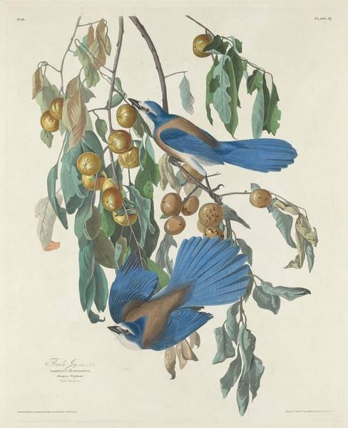 Wall Art - Drawing - Florida Jays by Dreyer Wildlife Print Collections
