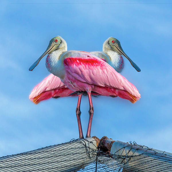 Scaling Photograph - Florida Keys Roseate Spoonbill by Betsy Knapp