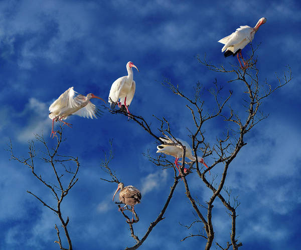 Wall Art - Photograph - Florida Keys The Exaggerated Ibis by Betsy Knapp