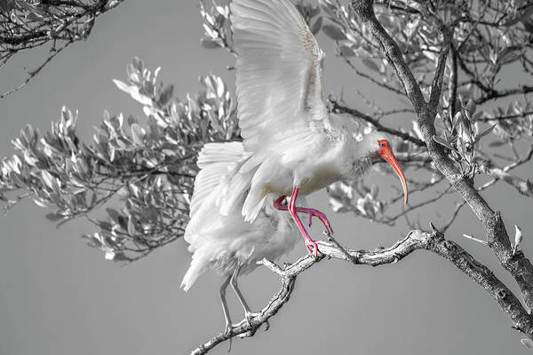 Wall Art - Photograph - Florida Keys White Ibis by Betsy Knapp