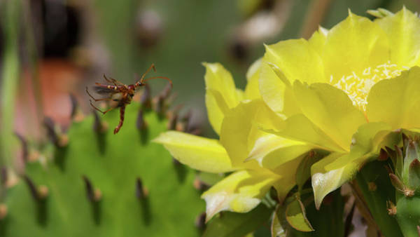 Photograph - Florida Longhorned Beetle And Cactusflower by Paul Rebmann