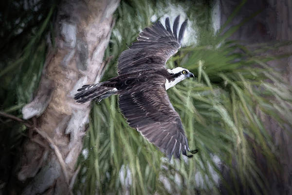 River Hawk Photograph - Florida Osprey by Donna Kennedy