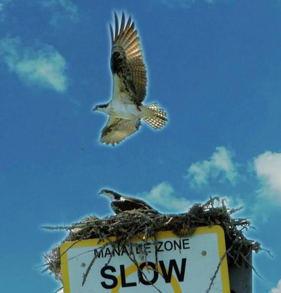 Photograph - Florida Osprey Vamily by Jeff Kurtz
