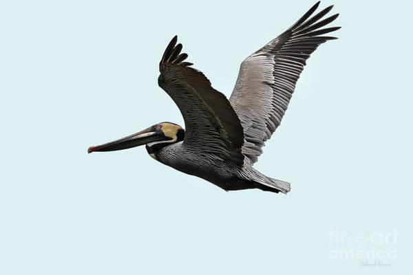 Photograph - Florida Pelican In Flight by Deborah Benoit