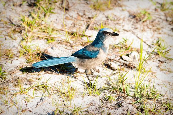 Photograph - Florida Scrub Jay 1 by Photos By Cassandra
