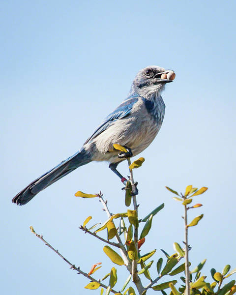 Photograph - Florida Scrub Jay II by Dawn Currie