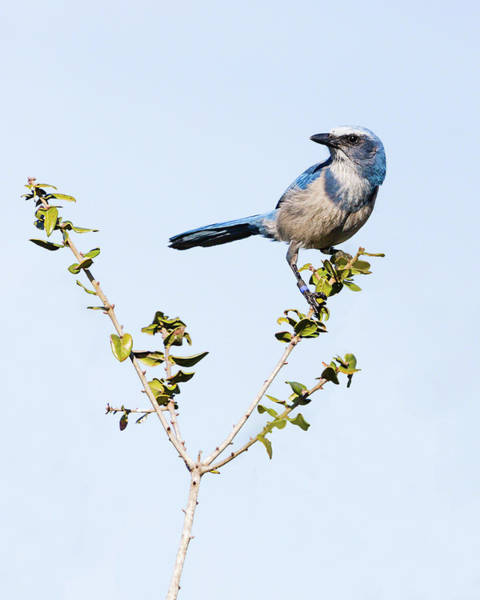 Photograph - Florida Scrub Jay IIi by Dawn Currie