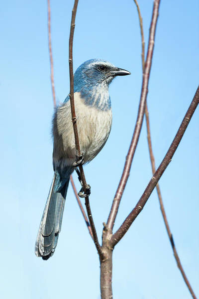 Photograph - Florida Scrub Jay Iv by Dawn Currie