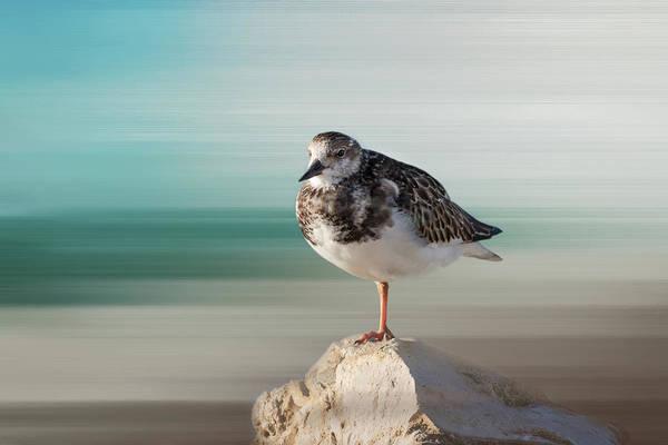 Photograph - Florida Shore Bird - Ruddy Turnstone by Kim Hojnacki