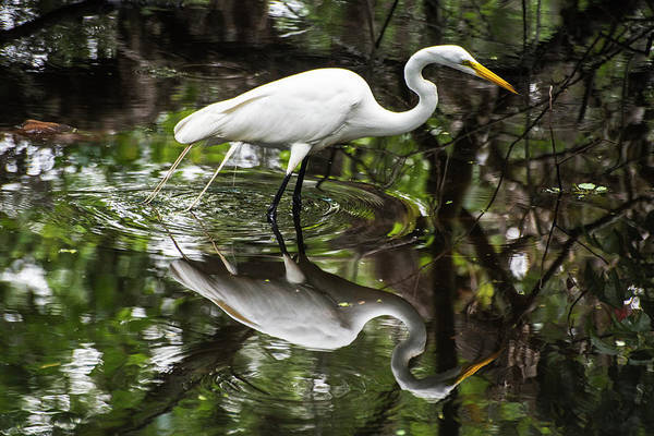 Photograph - Florida Snowy Egret Reflection by Toby McGuire