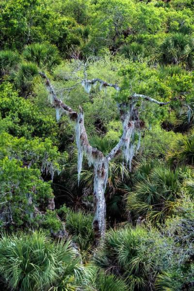 Photograph - Florida Spanish Moss by Tom Singleton