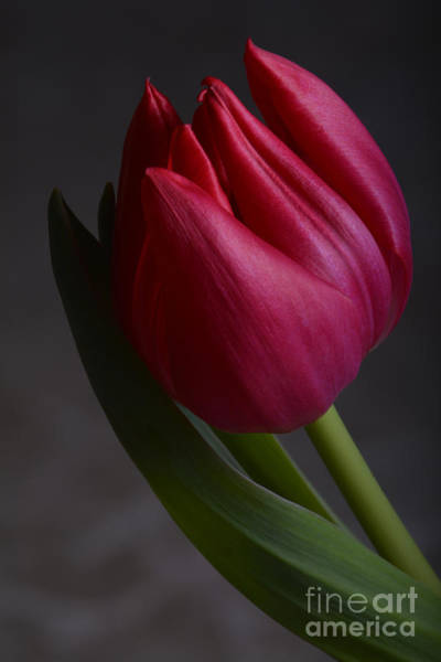 Photograph - Flourishing Tulip by Robert WK Clark