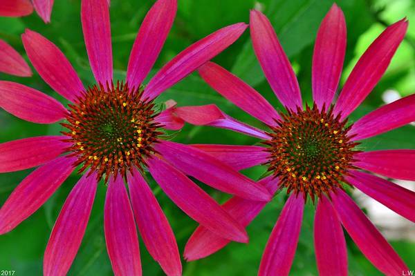 Photograph - Purple Coneflowers by Lisa Wooten