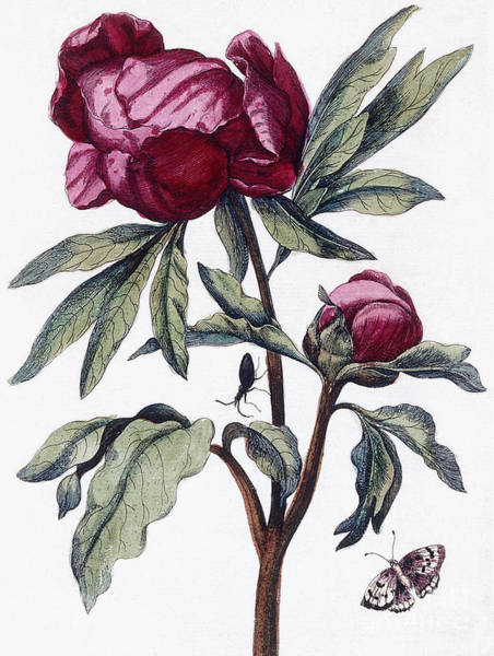 Wall Art - Painting - Flower, 1730 by Maria Sibylla Graff Merian