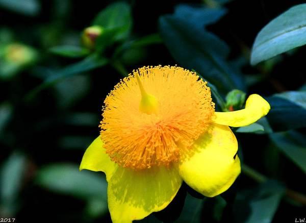 Photograph - Golden Guinea by Lisa Wooten