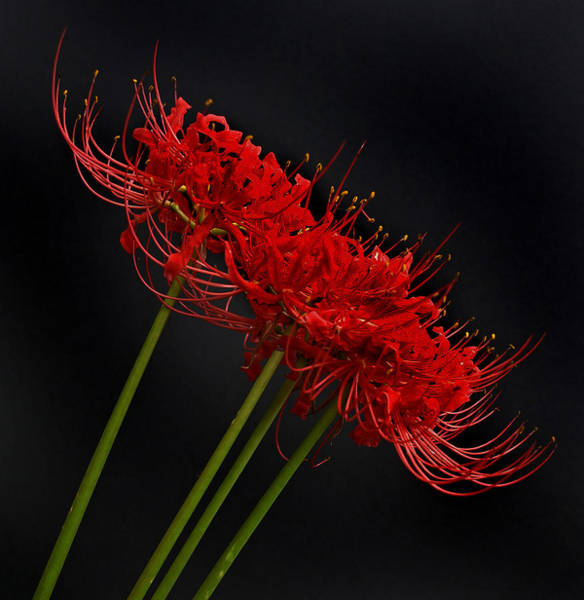 Spider Lily Wall Art - Photograph - Flower 8-6 by Skip Willits