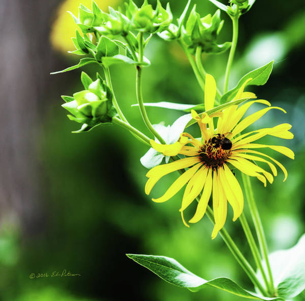 Photograph - Flower And Bee by Edward Peterson
