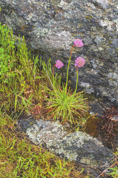 Photograph - Flower And Rock by Tom Singleton