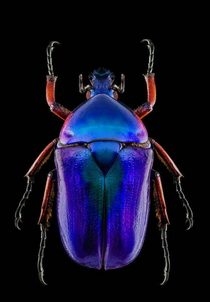 Photograph - Flower Beetle 1 by Gary Shepard