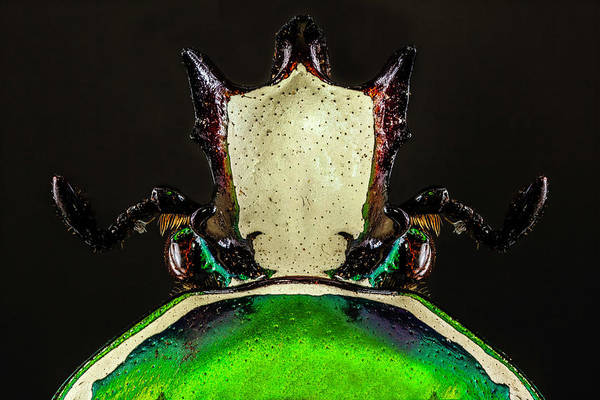 Photograph - Flower Chafer Beetle 3x by Gary Shepard