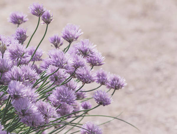 Photograph - Flower Chives by Kim Hojnacki
