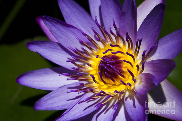 Virtue Photograph - Flower Flames by Sharon Mau