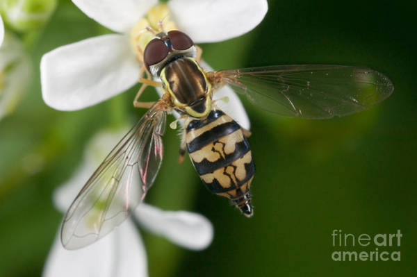 Photograph - Flower Fly Toxomerus Geminatus by Clarence Holmes