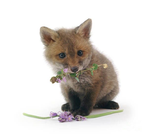 Photograph - Flower Fox Cub by Warren Photographic